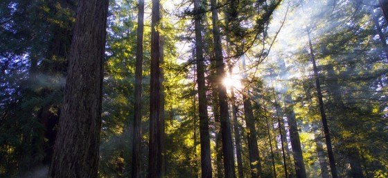 Redwood Dawn by Rob Shenk from Flickr (Creative Commons License)