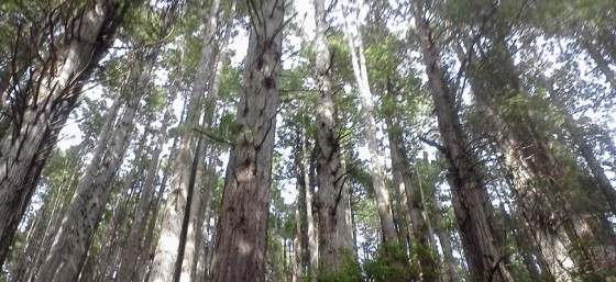 The Redwood Forest at the Trees of Mystery